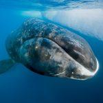 Rescatan a ballena jorobada en Mazatlán