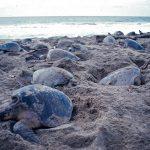 Tortugas mueren atrapadas en red de pesca en Oaxaca